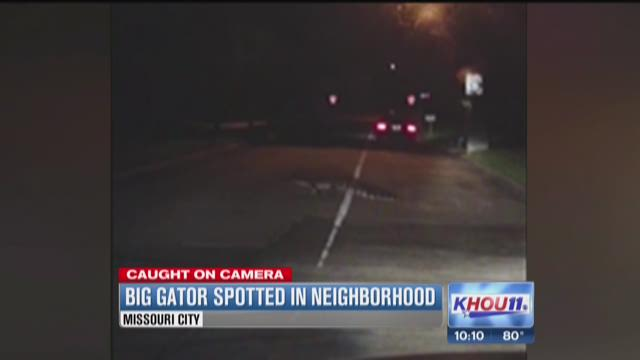 Alligator roams through Missouri City neighborhood