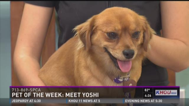 Yoshi is a one-year-old spaniel mix that is house-trained and loves belly rubs. Call the Houston SPCA at 713-869-SPCA for more on Yoshi and other dogs and cats.