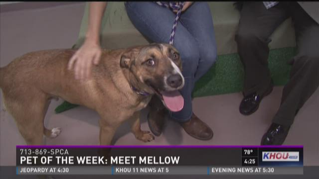 Mellow came to the SPCA on its animal ambulance after being hit by a car. But he's healed beautifully and is ready for a forever home. For more information, call 713-869-SPCA.
