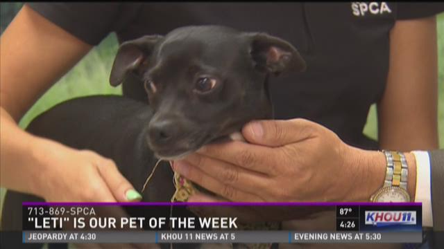 Leti is a 2-year-old chihuahua-terrier mix with a calm and sweet personality. If you want to know more about Leti or other animals, call the Houston SPCA at 713-869-SPCA.