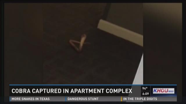 Cobra caught inside luxury downtown high-rise