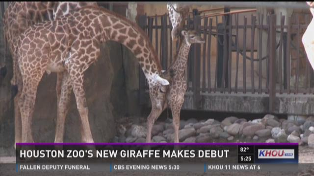 Houston Zoo debuts new baby giraffe